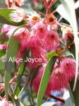 Eucalyptus leucoxylon 'Rosea' Photo © Alice Joyce
