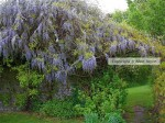 Monks House  Wisteria  Photo © Alice Joyce